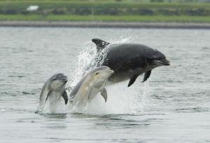 Quando i delfini si alleano