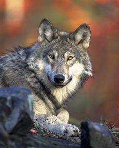Lo sguardo dei lupi